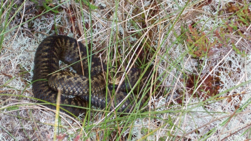 A rare and angry Scottish adder (credit: Mark Herron)