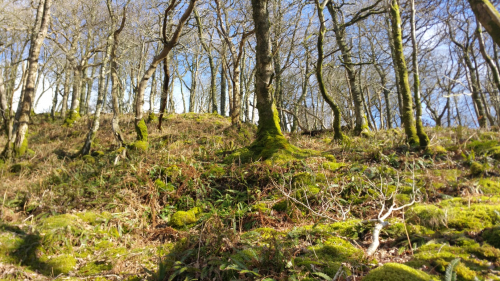 Birch and oak wait for spring at Carstramon Wood (credit: Aurélie Brousse)