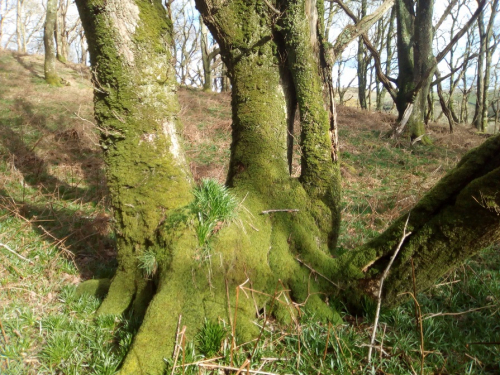 Mossy tree at Carstramon Wood (credit: Edel Sheridan)