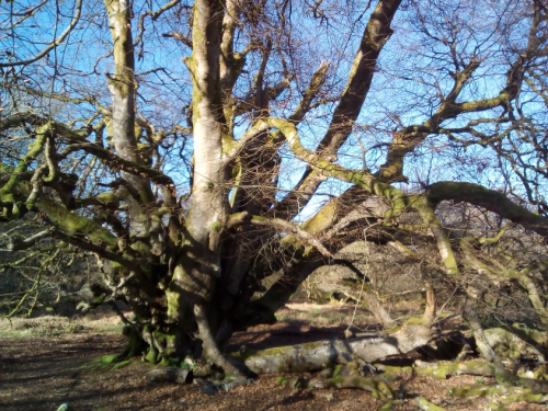 A gnarled beech specimen in Carstramon Wood (credit: Edel Sheridan)