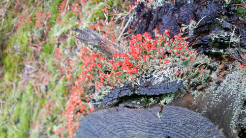 Colourful Devil's Matchstick lichen at Knowetop lochs (credit: Aurélie Brousse)